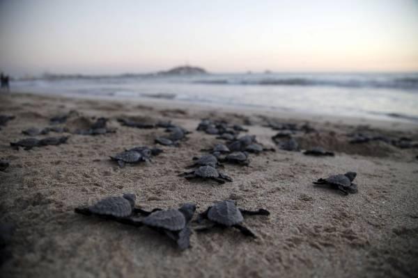 Nacen miles de tortugas de especie en peligro de extinción gracias al confinamiento en México