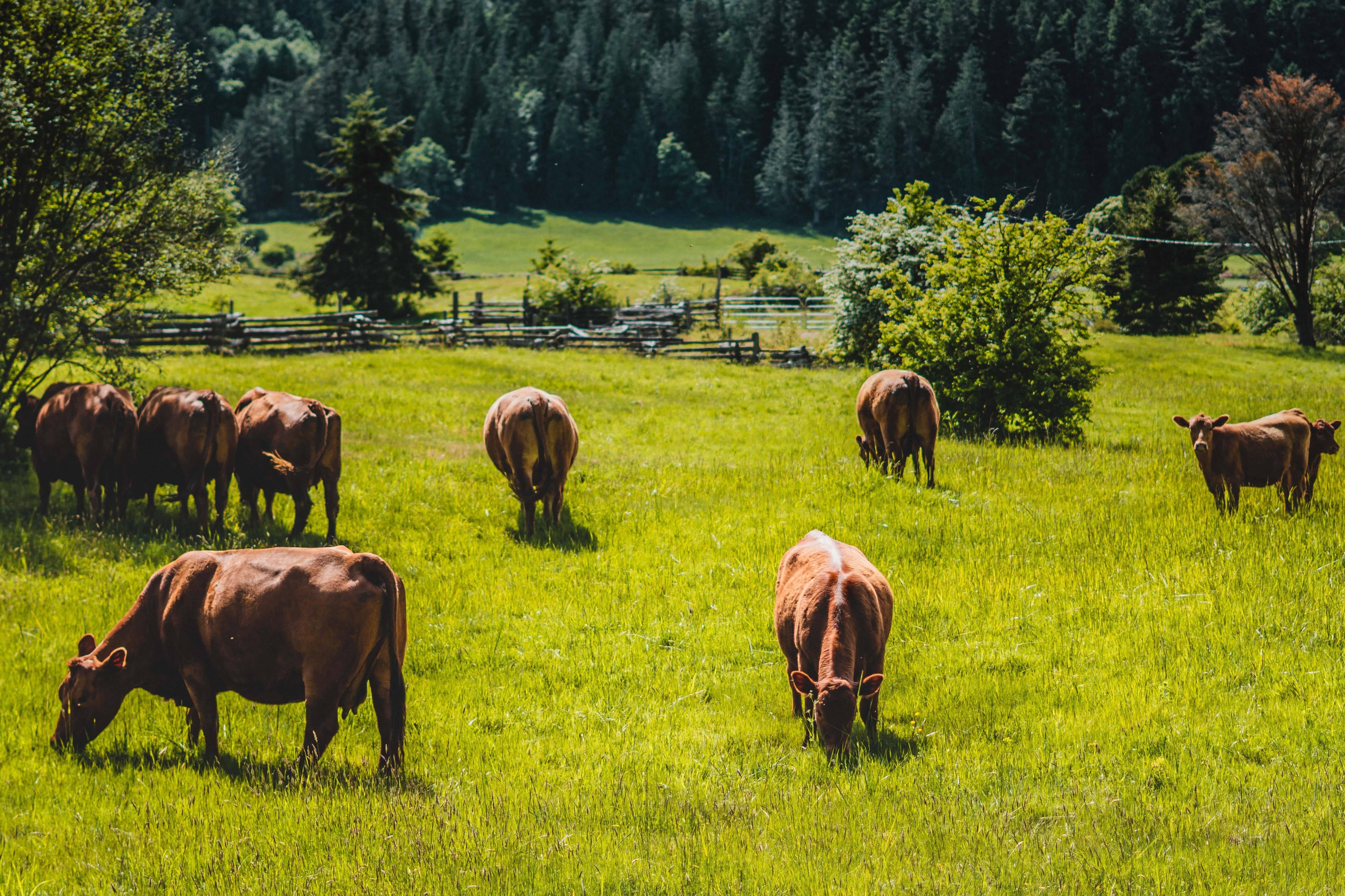 Vacas marrones