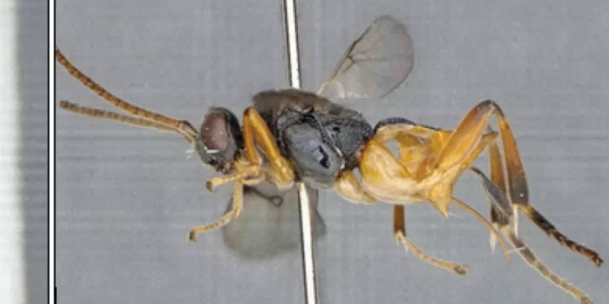 Nada que temer: hay una nueva especie de insecto y su nombre es 'Avispa Godzilla'