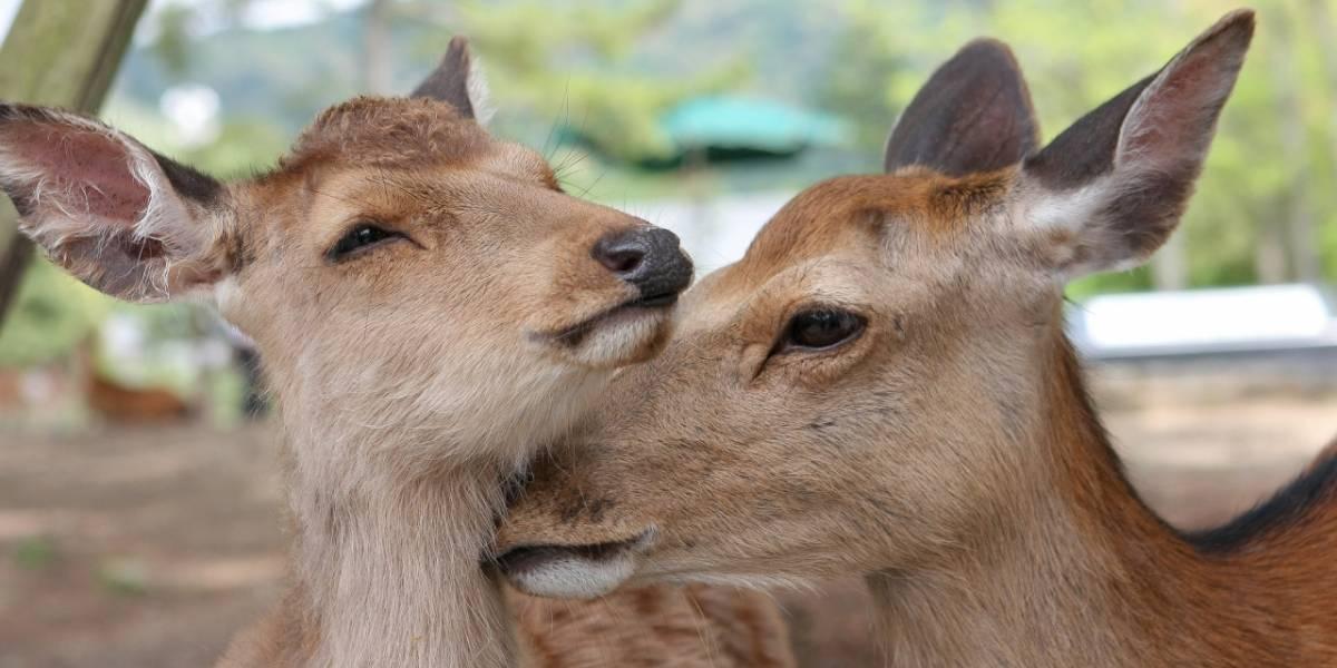 Japón: crean bolsas comestibles para salvar a los ciervos de Nara
