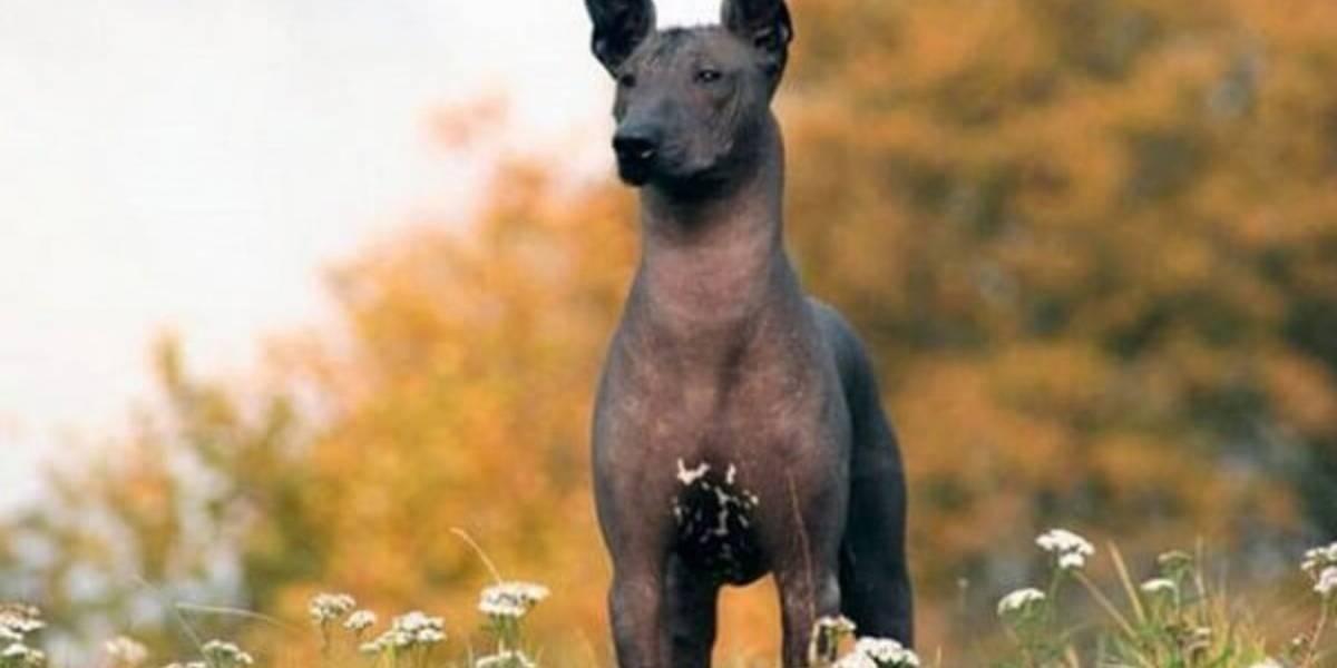 Senado aprueba al Xoloitzcuintle como mascota de la CDMX… Lo escriben mal