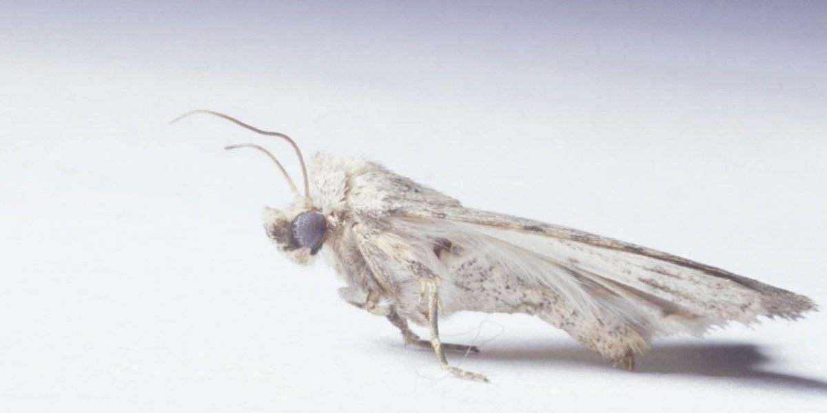 Aumento de polillas no es una plaga: especialistas piden no matarlas