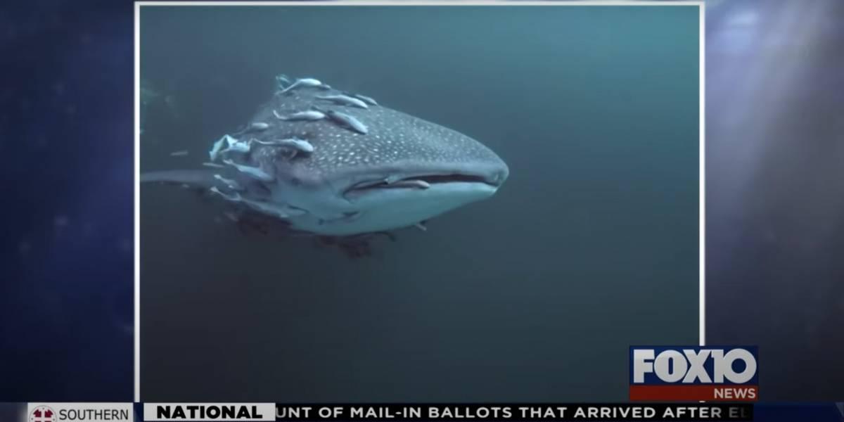 Vídeo impressionante registra gigante tubarão-baleia em alto mar: maior do mundo