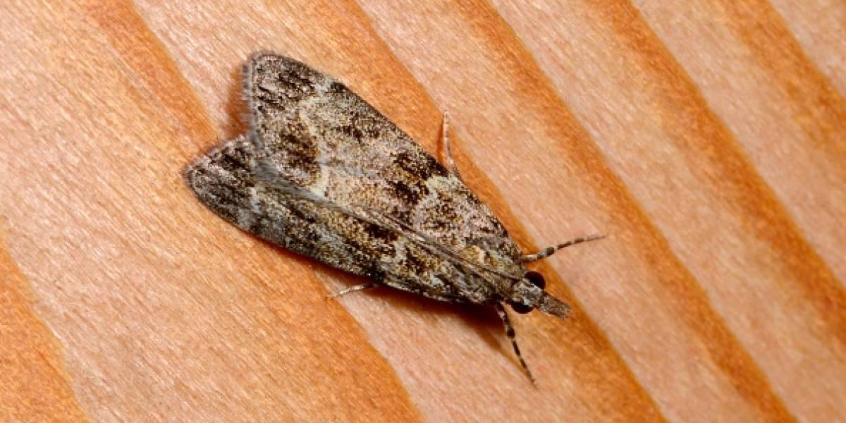 Polillas: así puedes evitar que entre a tu casa este insecto nocturno