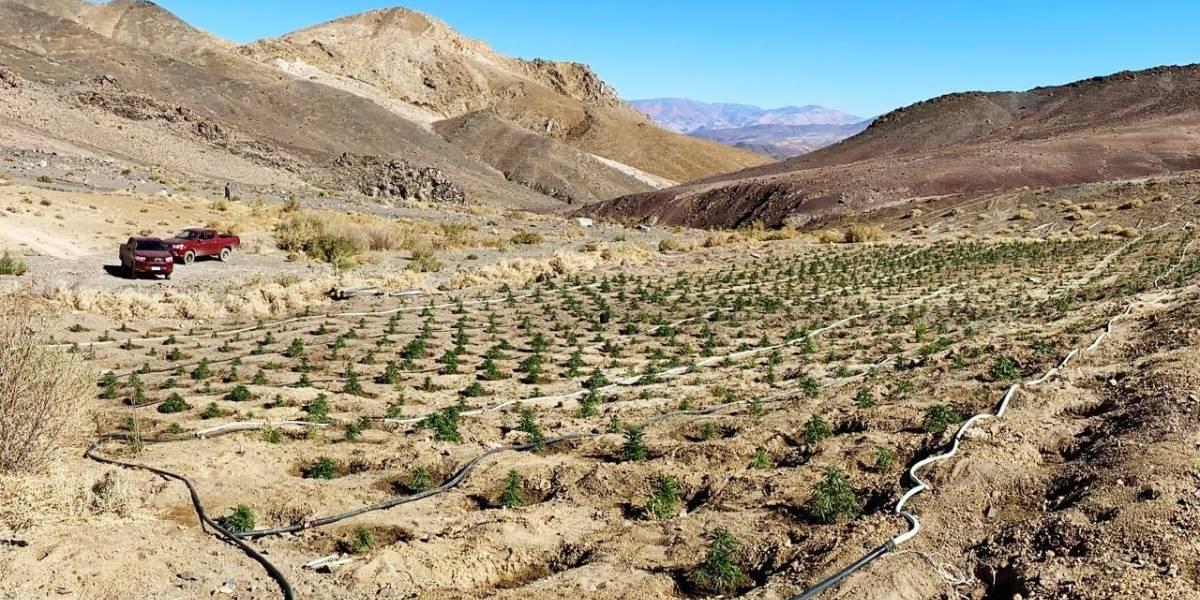 Carabineros descubre plantación de marihuana a 2.600 metros de altura en pleno desierto de Atacama