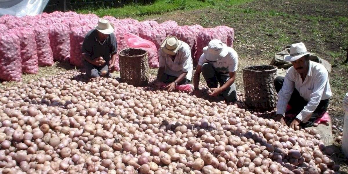Antioquia recibirá cerca de $1000 millones para apoyar a los productores de papa afectados por baja demanda