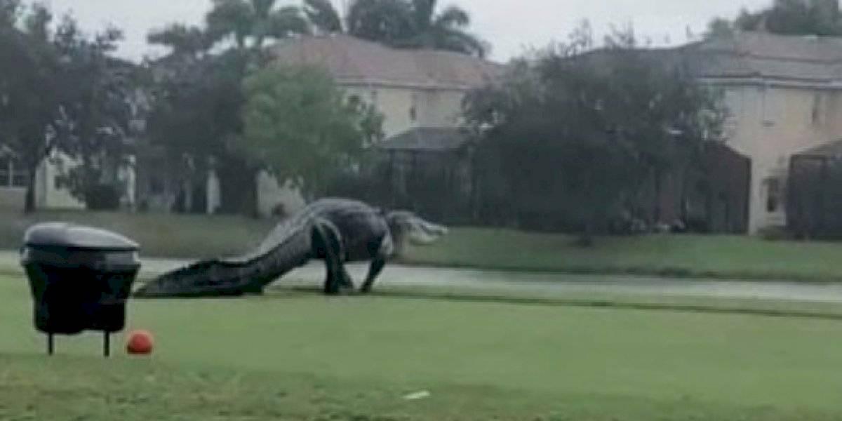 Captan enorme cocodrilo en Florida tras fuertes lluvias por Eta