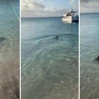 Vídeo impactante flagra momento que cachorro 'tenta atacar' tubarão que nadava próximo da costa
