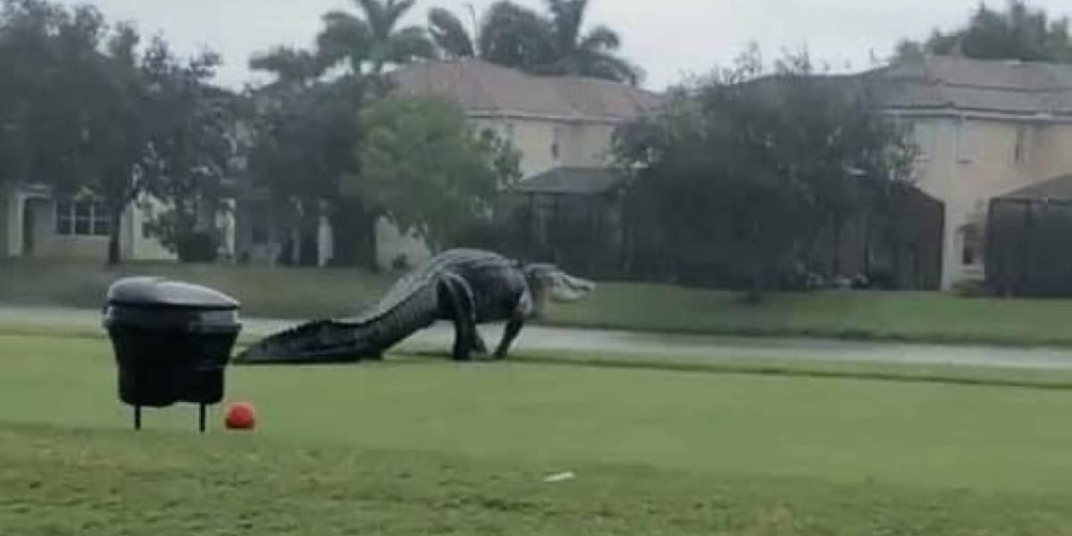 """Al más puro estilo """"Jurassic Park"""": captan a cocodrilo de grandes dimensiones en Florida"""