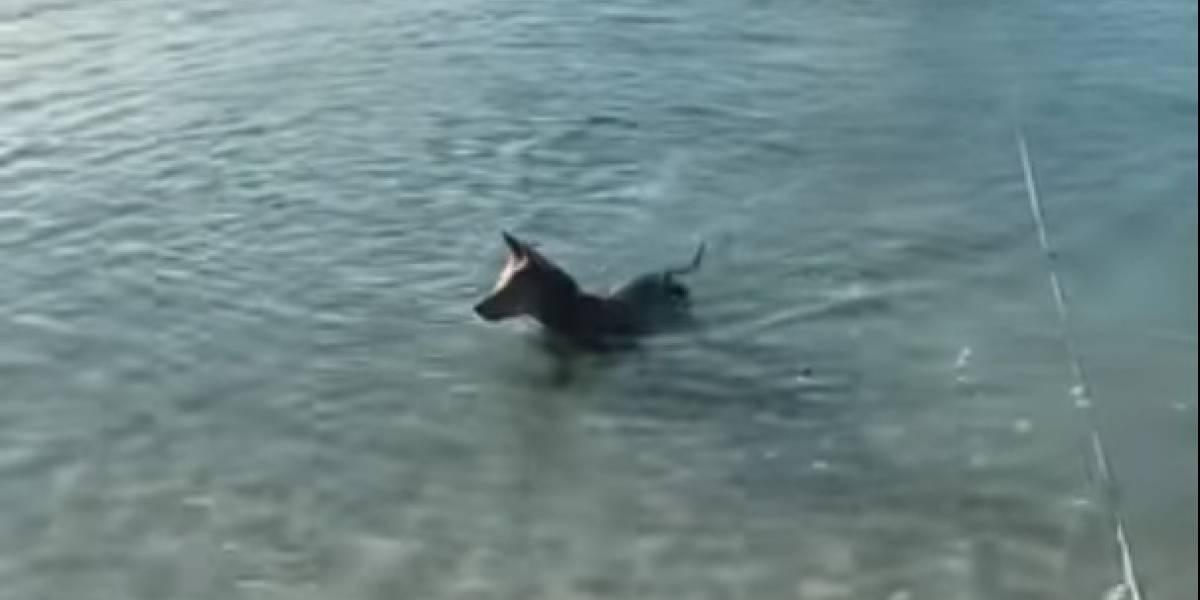 Un perro saltó al agua para defender a su dueño de un tiburón