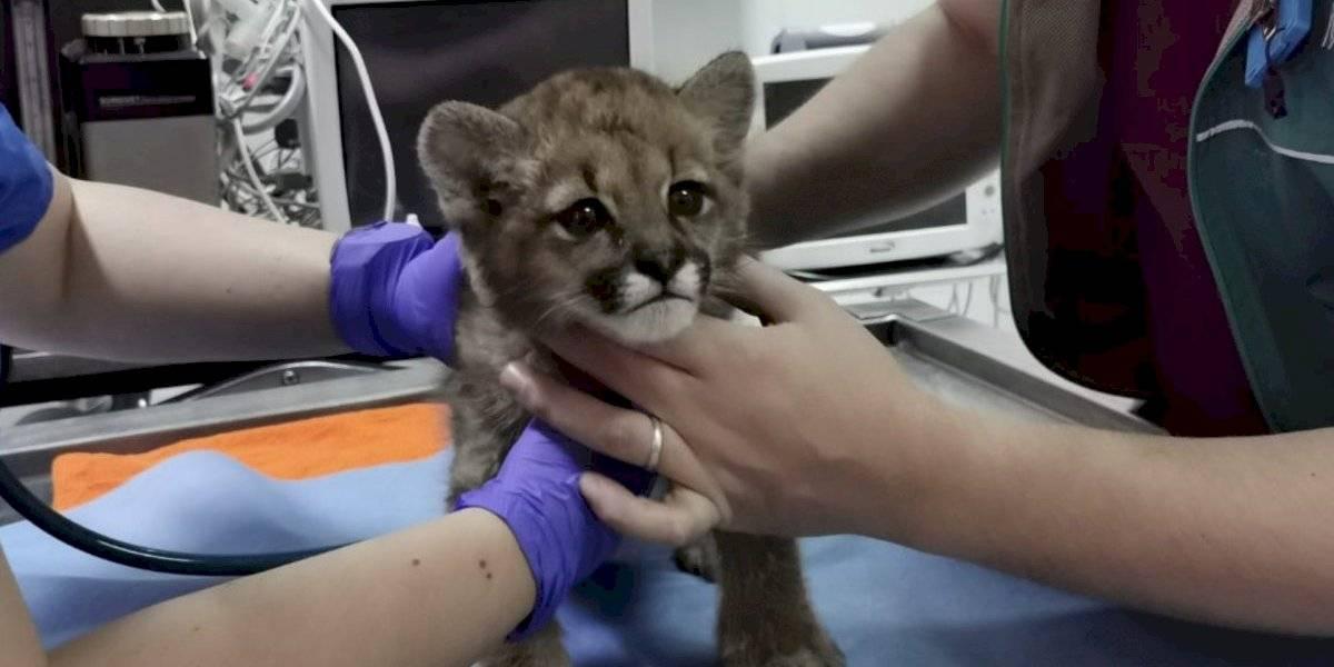 Puma cachorro no podrá ser reinsertado en su ambiente natural: se presume que estuvo bajo cuidado humano