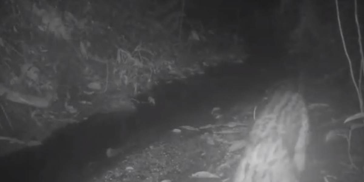 En video: registran avistamiento de un jaguar en zona reforestada