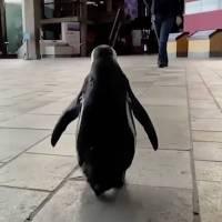 Pingüino aprovecha la falta de visitantes y se pasea por acuario en California