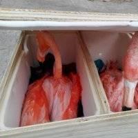 Con alas cortadas y deshidratados, rescatan a flamencos en Yucatán