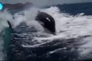 ASSISTA: 'Baleias assassinas perseguem' pequena embarcação turística em alto mar