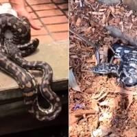 Vídeo mostra captura de cobra píton que tenta defender seus ovos