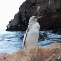 Avistan un raro pingüino totalmente blanco en las Islas Galápagos