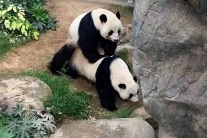 Após 13 anos de convivência, casal de pandas faz sexo pela primeira vez