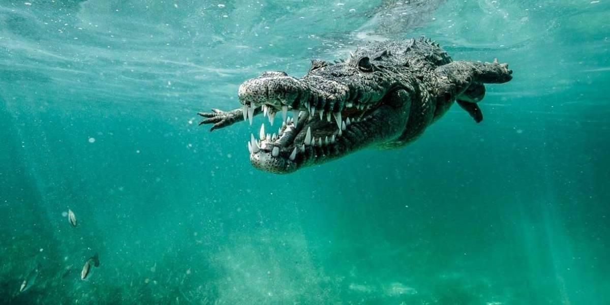 No podrás creer lo que ocurrió cuando un tiburón toro se encontró a un cocodrilo gigante