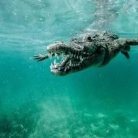 No podrás creer lo que ocurrió cuando un tiburón toro se encontró a un cocodrilo gigante. Noticias en tiempo real