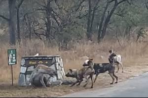 Vídeo mostra luta brutal entre hiena e grupo de cães selvagens para proteger filhote