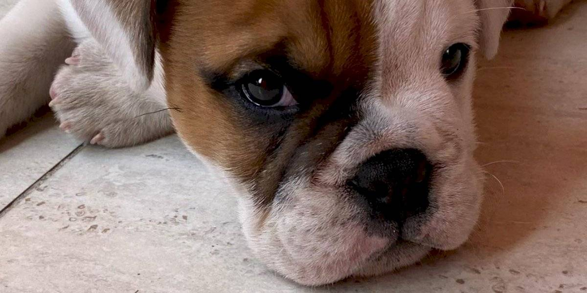 ¡No te desesperes! Sigue estos tips para enseñar a tu perro a ir al baño