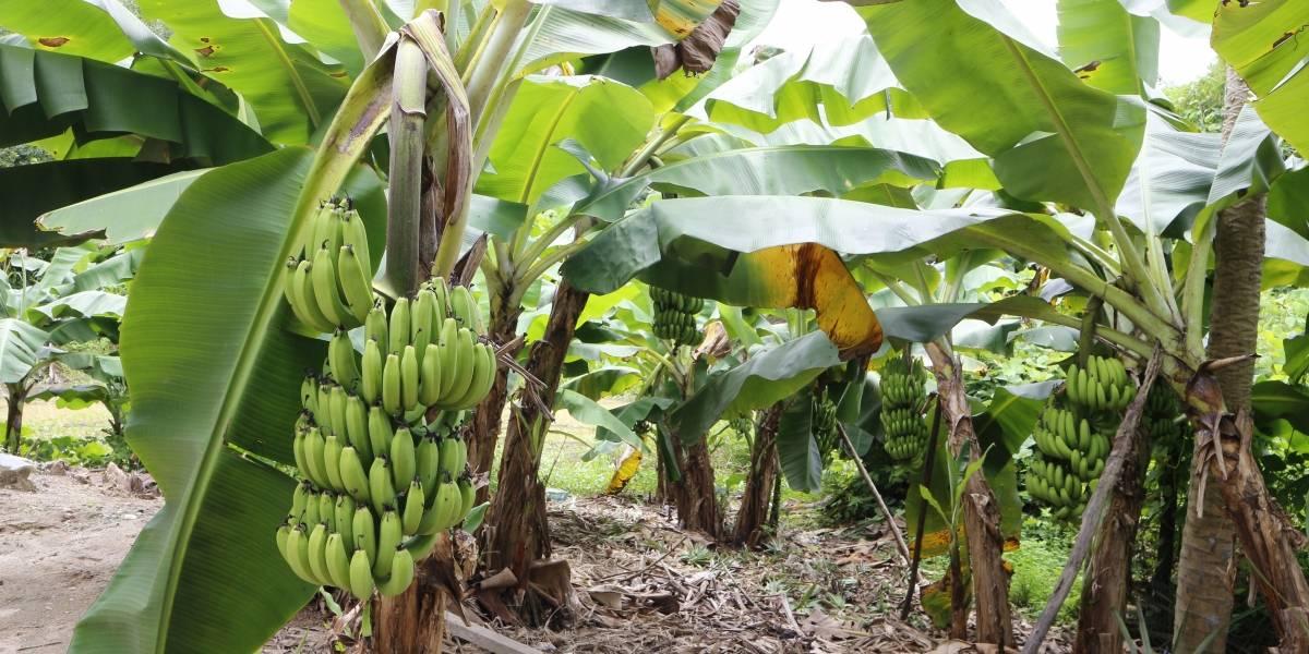 Los plátanos se enfrentan a su propia pandemia, que podría llevar a su extinción