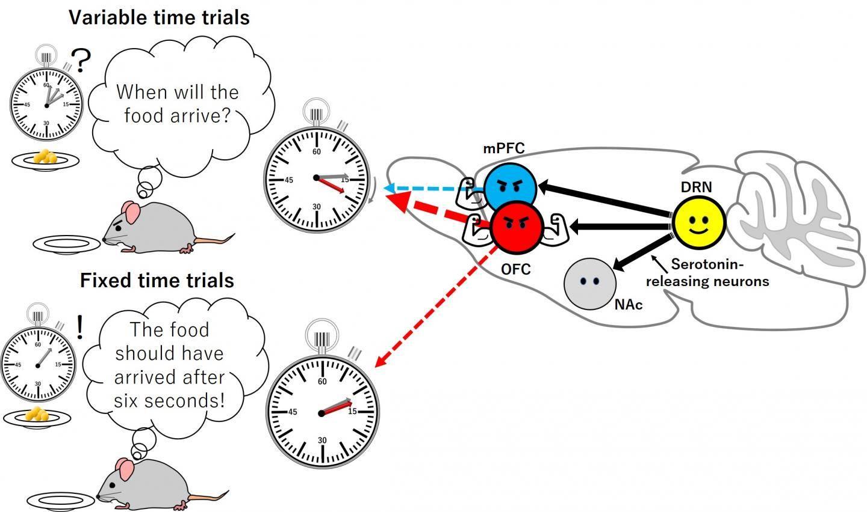 Resultados del estudio de la serotonina y su influencia en la paciencia.
