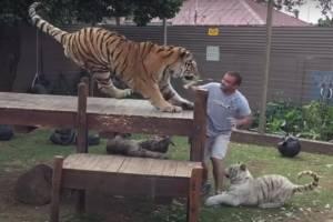 Vídeo mostra momento desesperador em que tigres atacam homem; assista