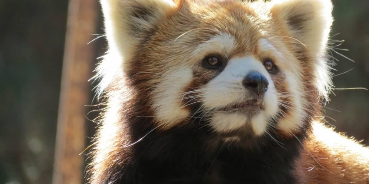 Para morirse de ternura: Buin Zoo presenta a su primera pareja de pandas rojos