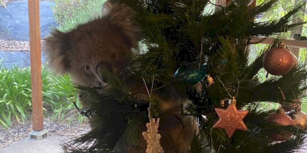 Una familia australiana se encontró un koala en su árbol de Navidad
