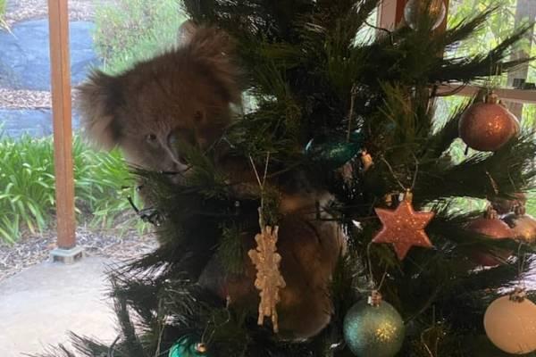 Cosas que pasan en Australia: familia llega a su casa y encuentra a un koala en su árbol de Navidad
