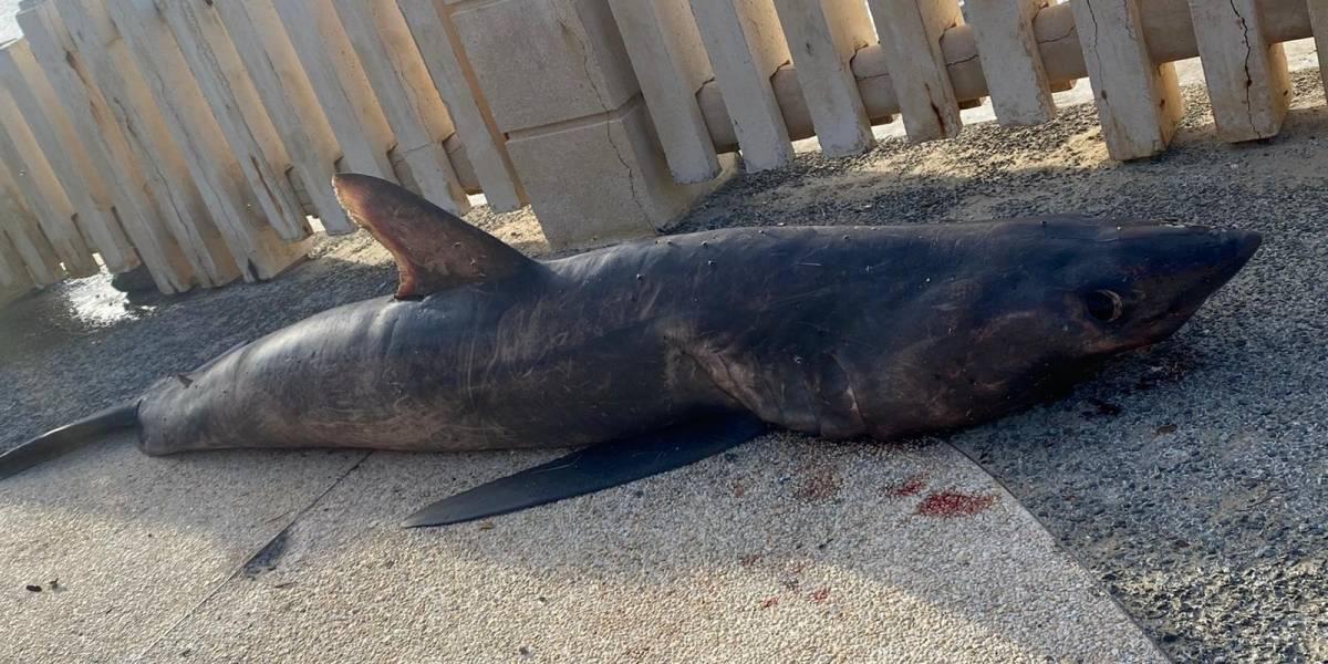 Encuentran un tiburón muerto en costa de Aguadilla