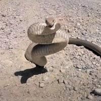 Momento de desespero: Vídeo mostra deslize ao capturar cobra-rei  e quase termina em ataque
