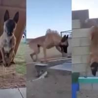 ¡Parkour! Perro supera enorme circuito de obstáculos