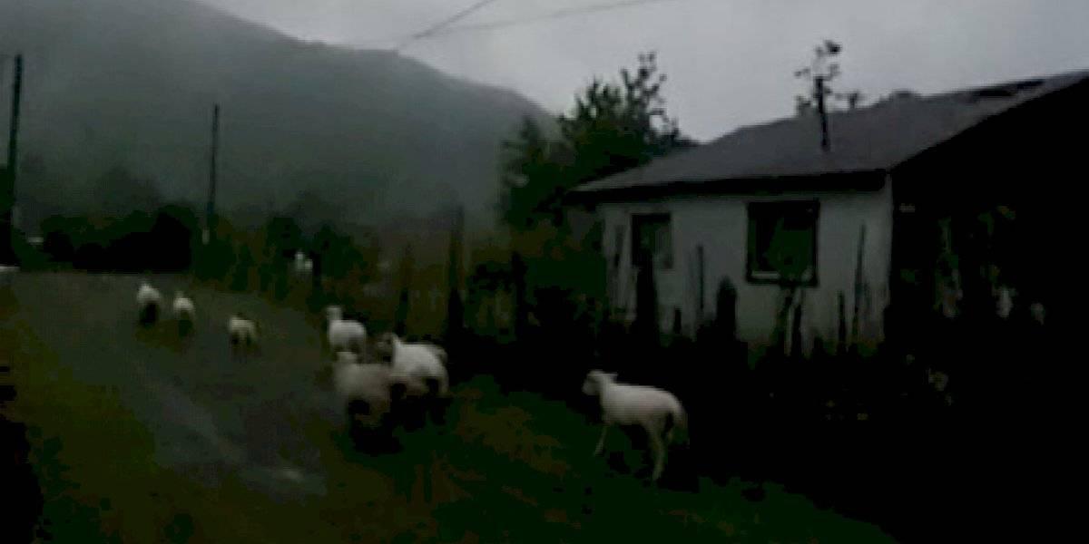 Eclipse: ovejas se fueron a acostar pensando que era de noche en Caburgua
