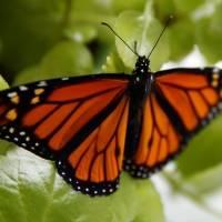 Estados Unidos desiste de dar protección a las mariposas monarcas