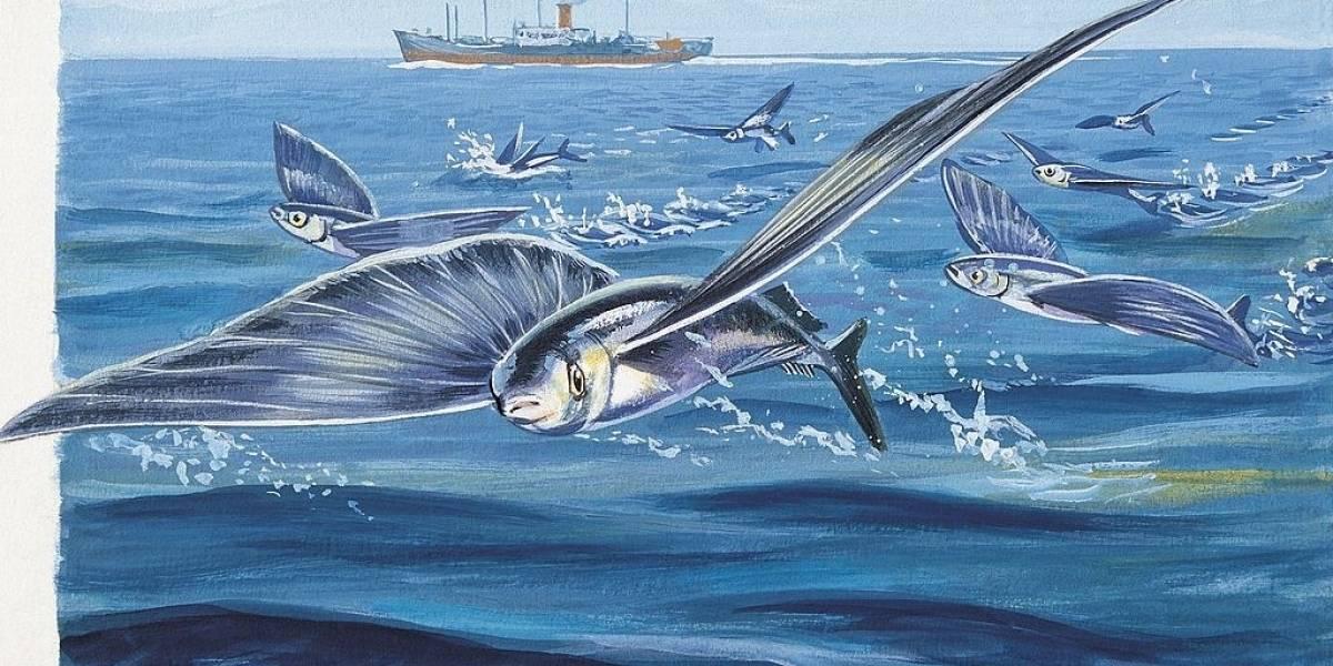 ¿Realmente vuelan los peces voladores? Conozcamos más sobre esta especie