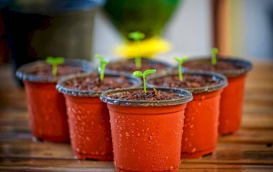 Después de un trasplante comienza el proceso de adaptación. Debes vigilar con atención la respuesta de la planta a su nuevo ambiente.