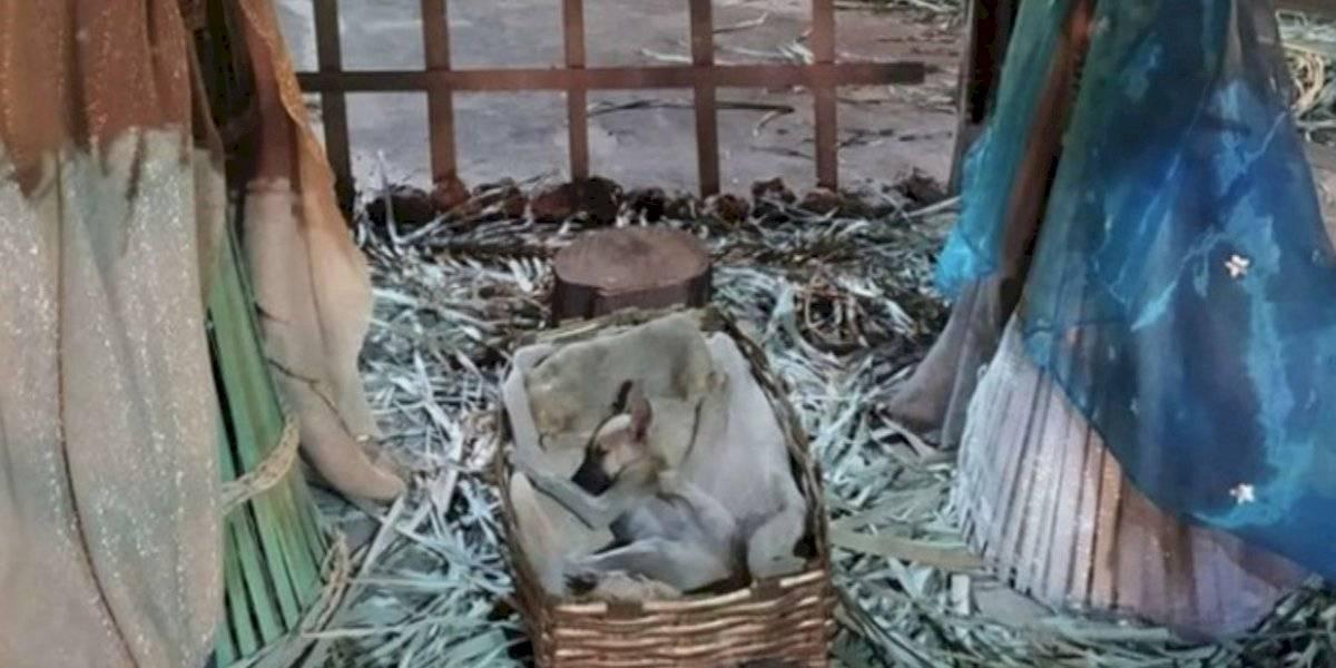 Fenómeno viral: descubren a perrito durmiendo en un pesebre en plena calle