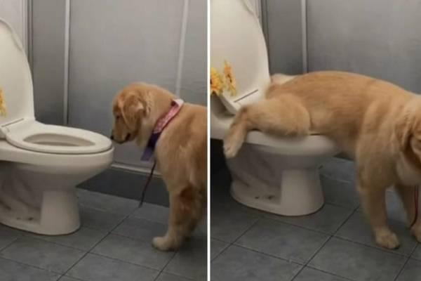 Perrito es furor en redes sociales: hace sus necesidades en el WC