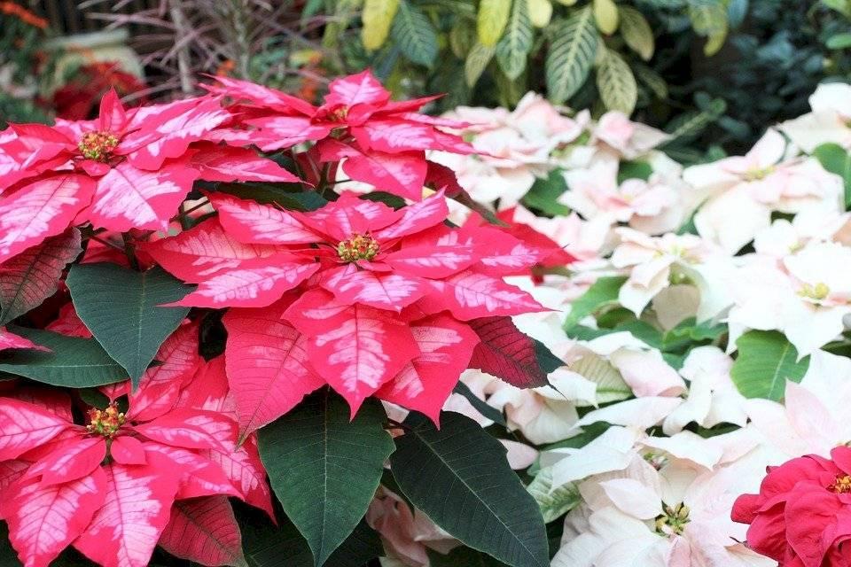 A las nochebuenas también se les conoce como Flor de Pascua, pastora o poinsettia. Pertenecen a la familia Euphorbiaceae.