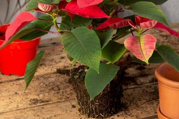 Esta planta requiere cuidados específicos durante su floración, además de evaluar el control de temperatura, riego, humedad y plagas.