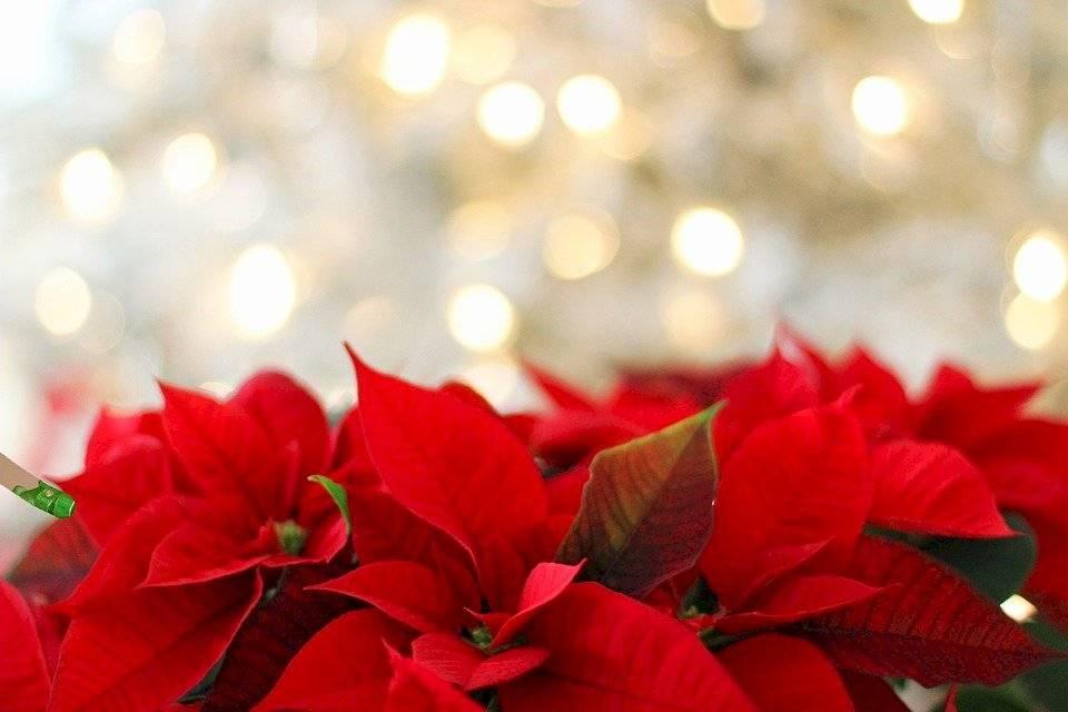 La mejor opción esta temporada es usar la magia y elegancia de las plantas navideñas.