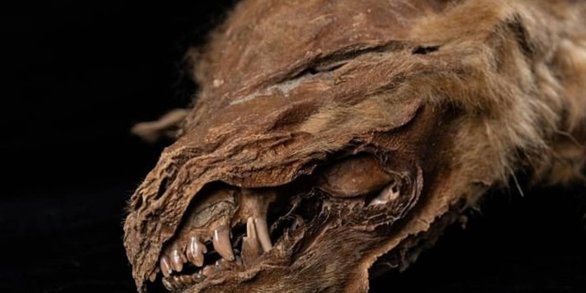 El permafrost de Canadá le regaló a la ciencia un cachorro de lobo momificado de hace 57 mil años: ¡luce en perfecto estado!