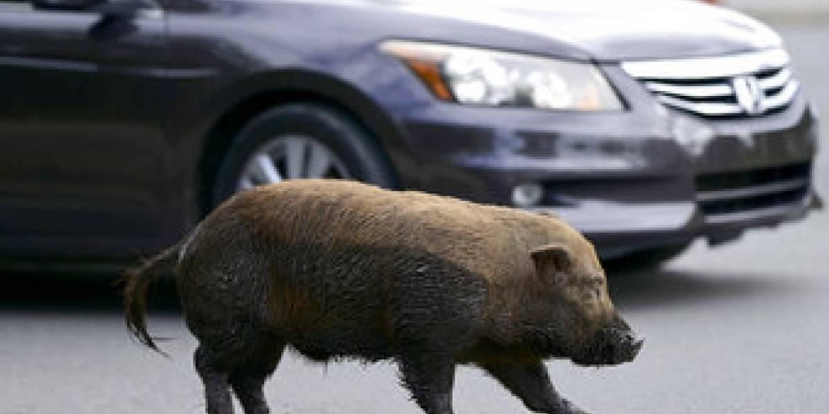Cientos de cerdos salvajes que buscan comida en las granjas asombran y atemorizan a comunidades de San Juan