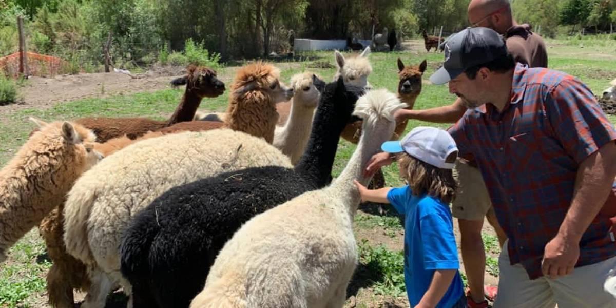 Fomentan la alpacoterapia para niños y adultos: en Ovalle impulsan la creatividad con emprendedores de tejidos y terapias con alpacas