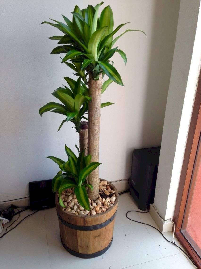 Al Tronco de Brasil le agradan los ambientes bien iluminados. Es una planta fácil de cuidar.