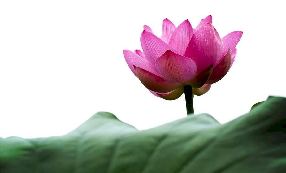 Decora tu hogar de manera original usando la flor de loto. La misma atrae el éxito y la abundancia.