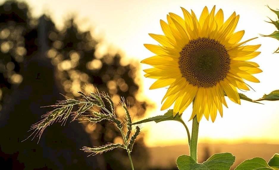 Lo ideal es colocar una flor de girasol en un envase de cristal con agua pura y en el centro de una sala.